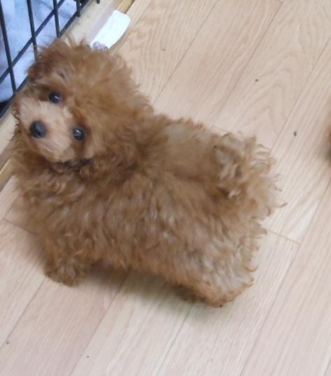 ティー カップ プードル 成 犬